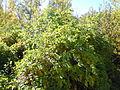 Clematis ligusticifolia (5062268423).jpg