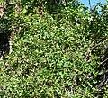 Clematis ligusticifolia 3.jpg