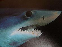 La cabeza de un tiburón mako