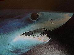 Close up of mako shark head 005.jpg