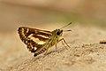 Close wing posture Basking of Sebastonyma dolopia (Hewitson, 1868) – Tufted Ace WLB DSC 3265.jpg