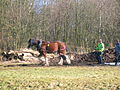Clydesdale horse logging at Spiers Parklands, Beith.JPG