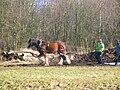 Clydesdale horse logging at Spiers Parklands, Beith.JPG