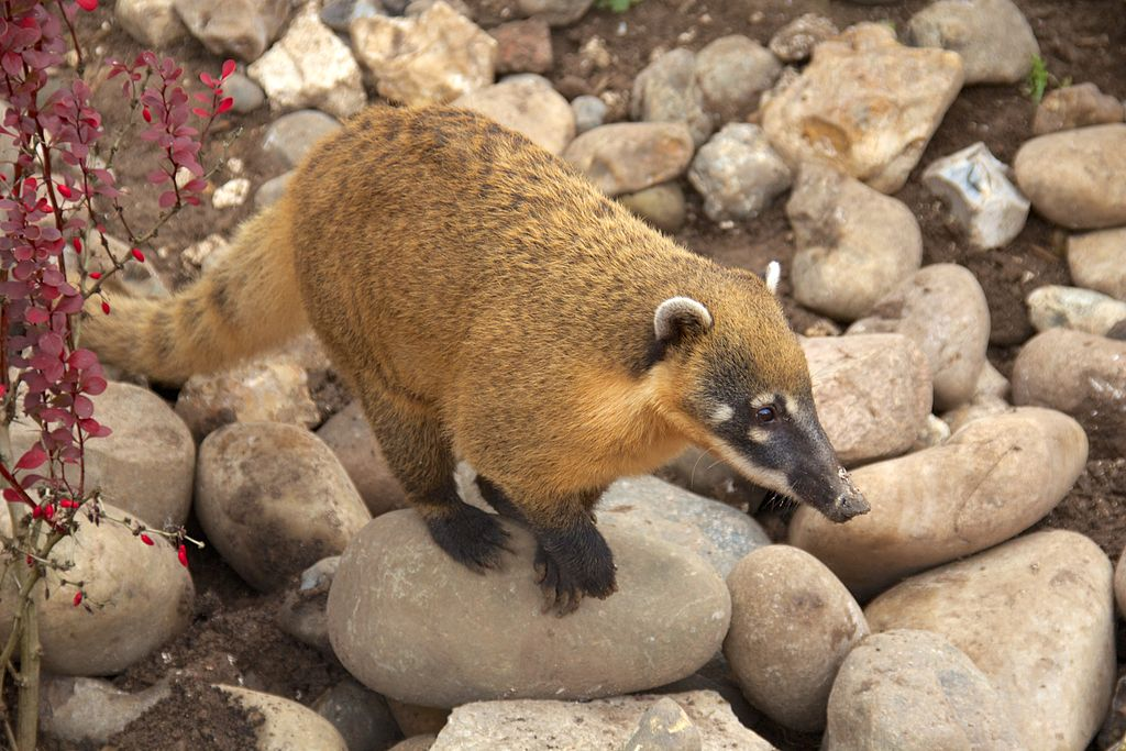 https://upload.wikimedia.org/wikipedia/commons/thumb/5/56/Coati_at_Marwell_Wildlife_2.jpg/1024px-Coati_at_Marwell_Wildlife_2.jpg