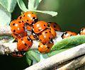 Coccinella septempunctata (a 7-spot gathering) - Flickr - S. Rae.jpg