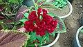 Cockscomb (Celosia cristata) flower 2.jpg
