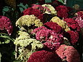 Cockscomb or Celosia argentea from lalbagh 1700.JPG