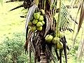 Coco, coqueiro, coco-da-baía, coqueiro-da-índia, coco-da-praia, coqueiro-anão. Nome científico, Cocos nucifera - panoramio.jpg