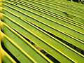 Coconut leaf.JPG