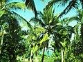 Coconut palms, Goa.jpg