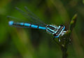 Coenagrion puella on grass.jpg