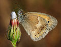 Coenonympha pamphilus 1.jpg