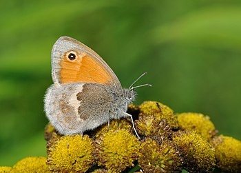 English: Small Heath (Coenonympha pamphilus) o...