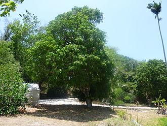 Cogshall (mango) - A 'Cogshall' tree growing on the former property of Frank Adams on Pine Island in Bokeelia, Florida,