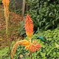 Colibri thalassinus-IMG 9031.JPG