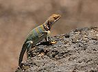 Collared Lizard 3.jpg