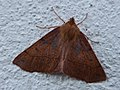 Colotois pennaria 68497337.jpg