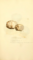 Coloured Figures of English Fungi or Mushrooms - t. 310.png