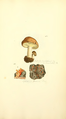 Coloured Figures of English Fungi or Mushrooms - t. 420.png