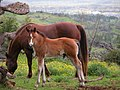 Colt with mother. Marcia Berkowitz Maui Hawaii - panoramio.jpg