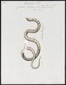Coluber triscalis - - Print - Iconographia Zoologica - Special Collections University of Amsterdam - UBA01 IZ12100161.tif