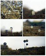 Comatricha nigra life cycle fragment.jpg