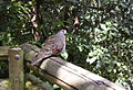 Common Bronzewing (Phaps chalcoptera) (4333709153).jpg