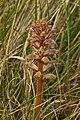 Common Broomrape (Orobanche minor) - geograph.org.uk - 1384370.jpg