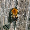 Common Carder Bee. Bombus pascorum. Queen - Flickr - gailhampshire (1).jpg