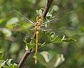 Common Darter, Sympetrum striolatum - teneral male (19234958483).jpg