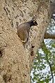 Common Myna on the bark of a tree in Corbett NP.jpg