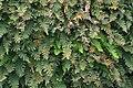 Common Polypody (Polypodium vulgare), Norwick - geograph.org.uk - 1330723.jpg