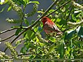 Common Rosefinch (Carpodacus erythrinus) (20773543799).jpg