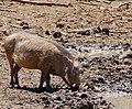 Common Warthog (Phacochoerus africanus) male drinking ... (50217778342).jpg