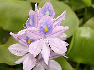 Eichhornia - Common water hyacinth (Eichhornia crassipes)
