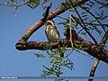 Common Woodshrike (Tephrodornis pondicerianus) (15706541768).jpg