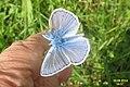 Common blue (Havl.) (15797301428).jpg