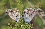 Common blues (Polyommatus icarus) mating female on left Bulgaria.jpg
