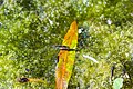 Common water strider (29145552381).jpg