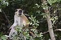 Comoe Green monkey.jpg