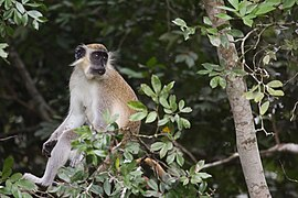 Comoe Green monkey.jpg