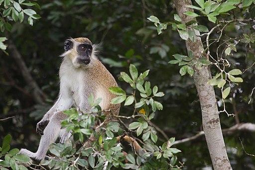 Comoe Green monkey