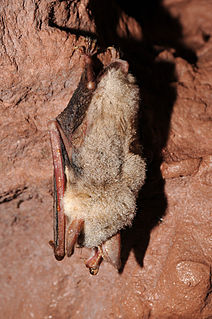 Vespertilionidae family of vesper bats
