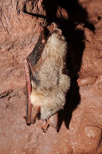 Vespertilionidae - Greater mouse-eared bat (Myotis myotis)
