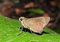 Conjoined Swift Pelopidas conjuncta UN by Dr. Raju Kasambe DSCN0738 (3).jpg