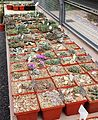 Conophytum collection at Stellenbosch University - RSA.jpg