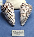 Conus (Lithoconus) litteratus - Osaka Museum of Natural History - DSC07842.JPG