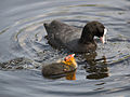 Coot, with young (14400694353).jpg