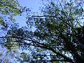 Copa de eucalipto 3.jpg