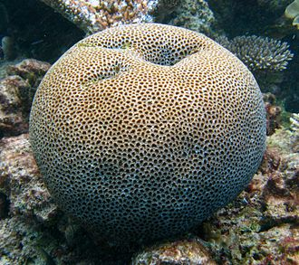 Tammes problem - Some natural systems such as this coral require approximate solutions to problems similar to the Tammes problem